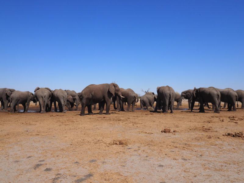 巨体を誇るオスゾウが多く集まるサブティの水場、マラブー・パン