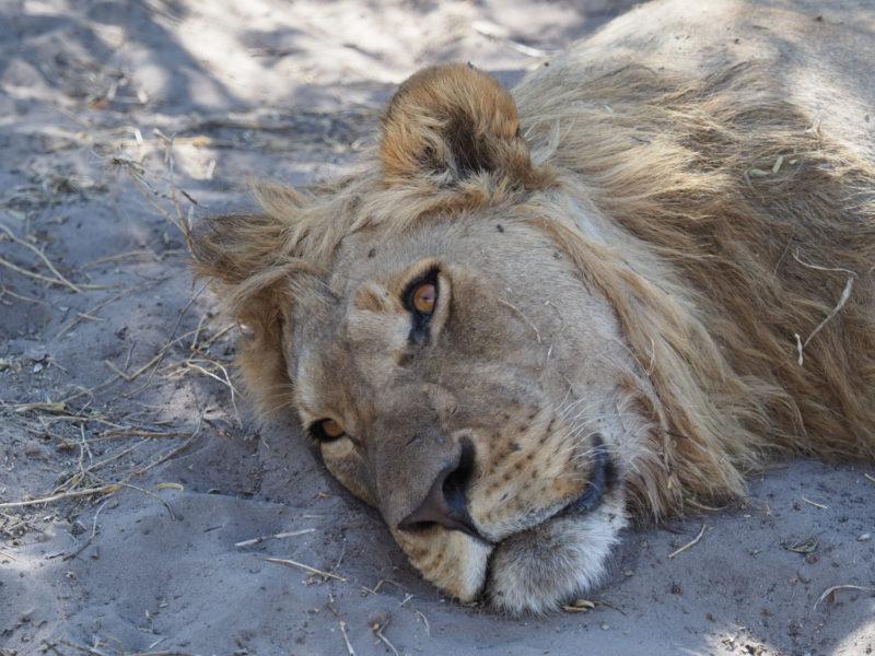 日陰でくつろぐサブティのオスライオン