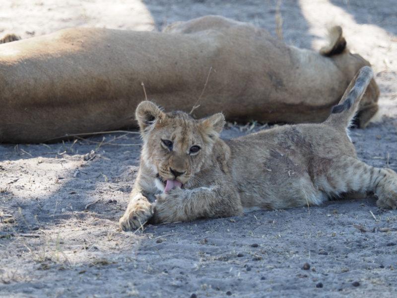 ちょっとみすぼらしい毛並みのライオンの子供
