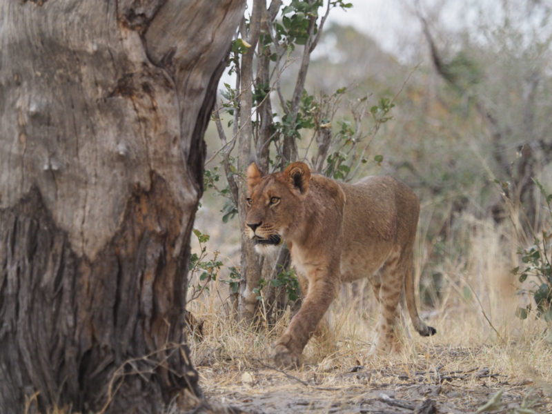 タテガミが少しだけ伸びてきた若いオスライオン