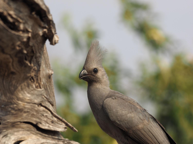 冠毛が美しいムジハイイロエボシドリ