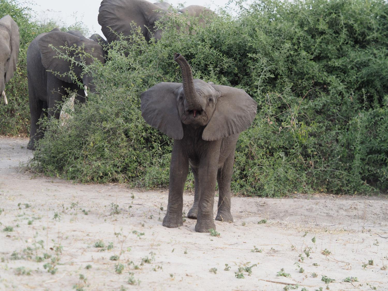 様々なゾウ~小さいながらも威嚇行為をする子ゾウ