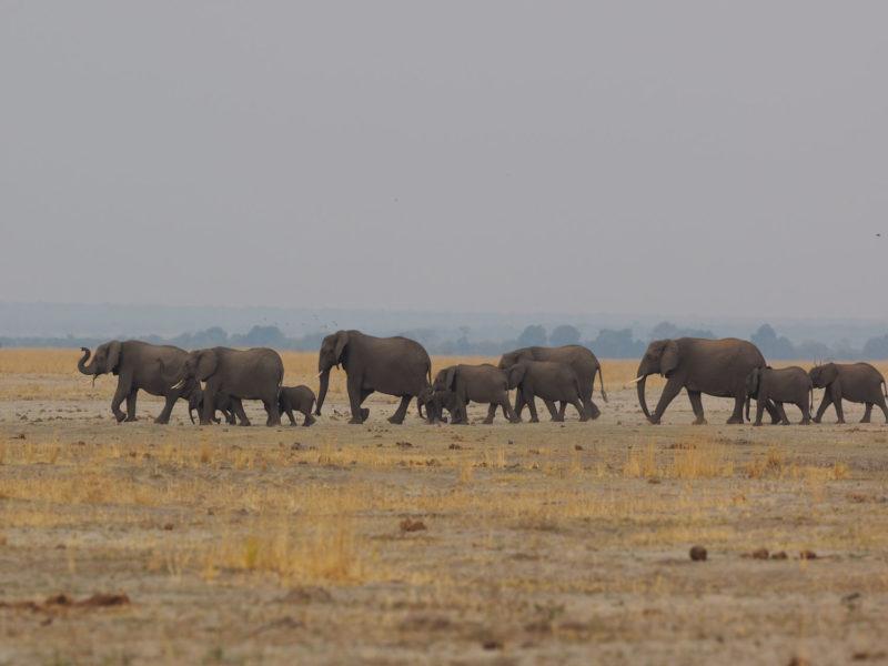 様々なゾウ~隊列を組んで移動中の群れ