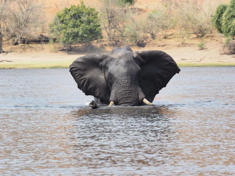 様々なゾウ~単独でチョベ川を渡るオスゾウ