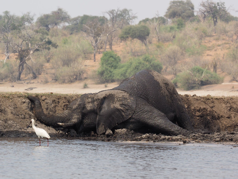 様々なゾウ~河岸の泥を身体に塗りたくるオスゾウ