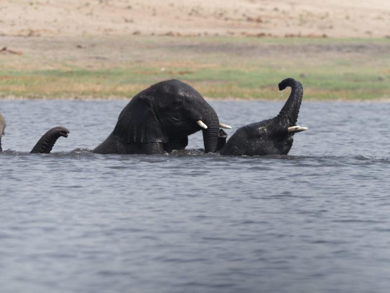 様々なゾウ~神経を使う箇所を過ぎると、水の中で遊び始める子ゾウ達