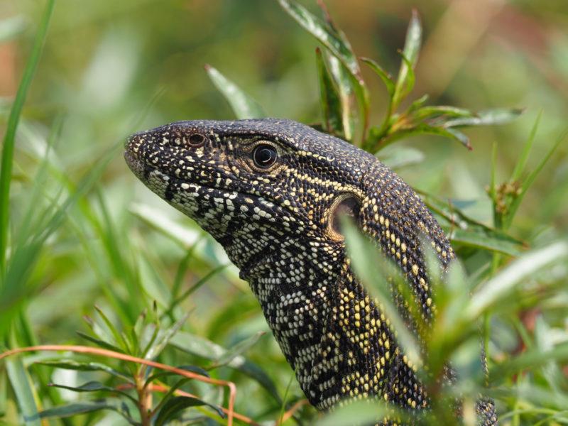 ミズオオトカゲ、同じく爬虫類らしい眼差しですが、ワニとは異なります