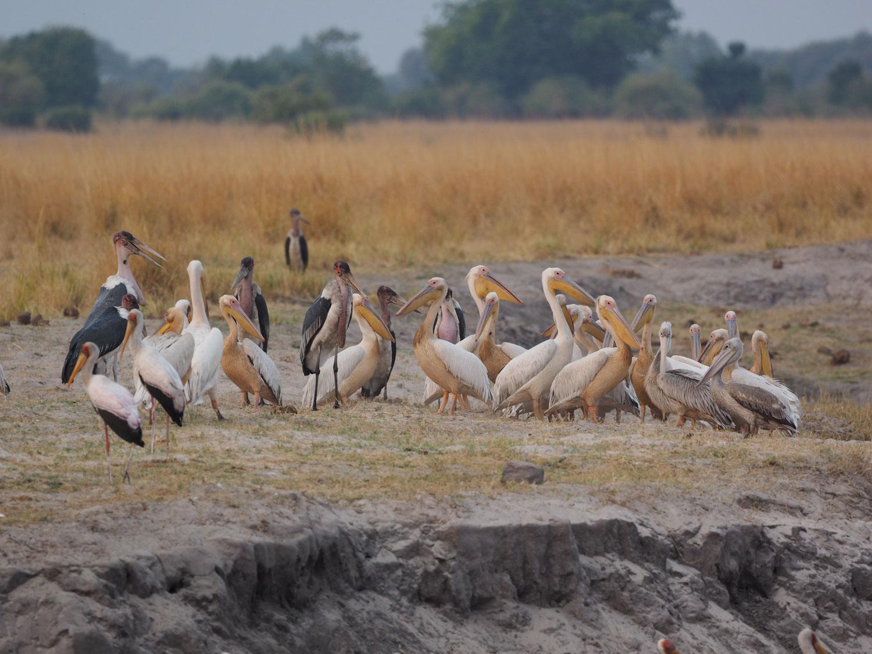コシベニペリカン、モモイロペリカン、アフリカハゲコウ、アフリカトキコウからなる集団
