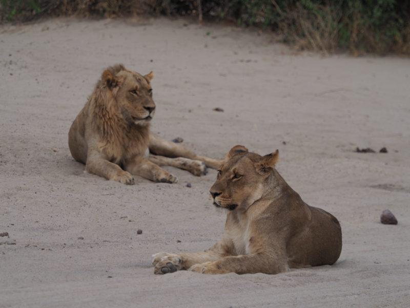 朝の路上でくつろぐライオンのオスメス
