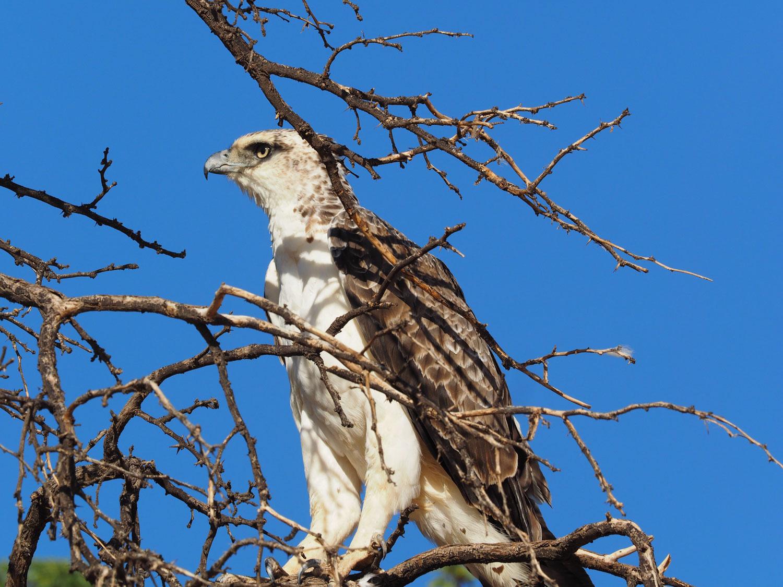 そしてワシタカ類、他の地域ではちょっと珍しい種も、ここではどこにでもいる感覚です。これはゴマバラワシの幼鳥