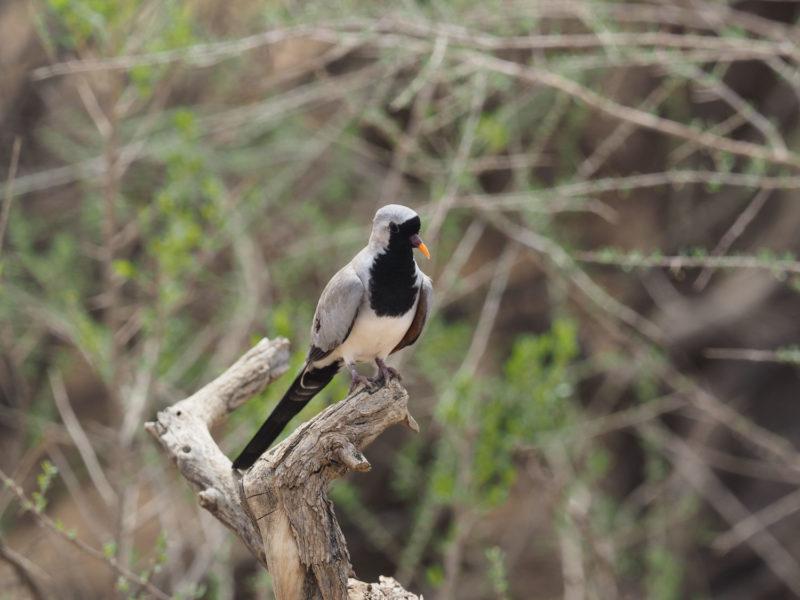 もちろん一般の鳥も。これはナマクア・ダヴ、和名シッポウバト