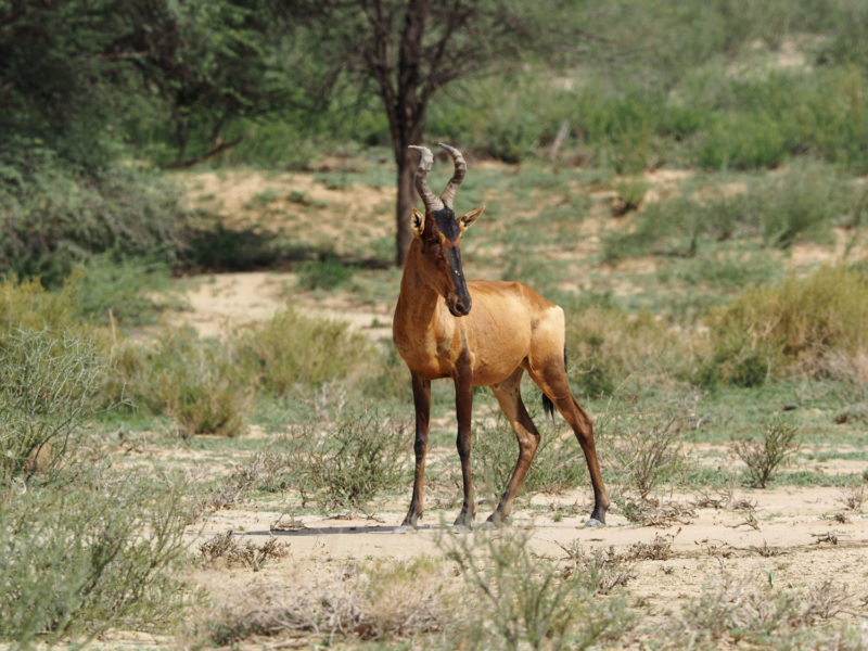 南部アフリカに生息するレイヨウ類の中で、トップクラスのスピードを誇るレッド・ハーテビースト