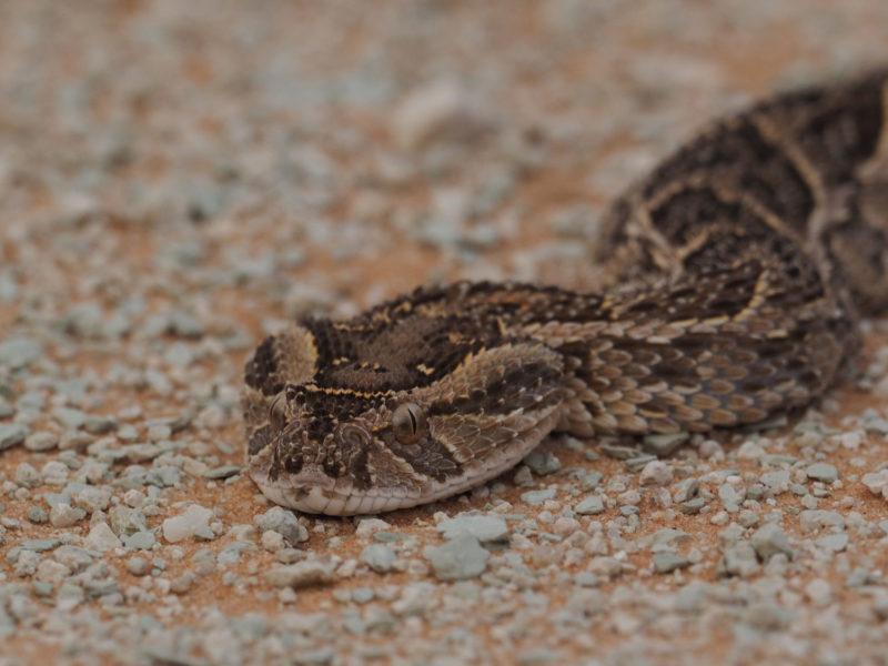 乾燥地に好んで生息するクサリヘビの一種、パファダー
