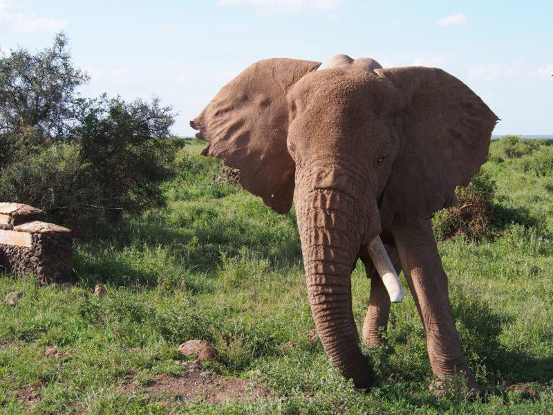 早速、オスの象がお出迎え。いつ見てもド迫力です。