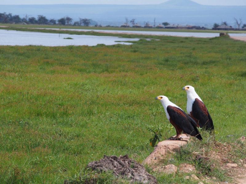 サンショクウミワシのカップルも発見。鳥類は近づくとすぐに飛んで行ってしまうのでちょっと遠い…