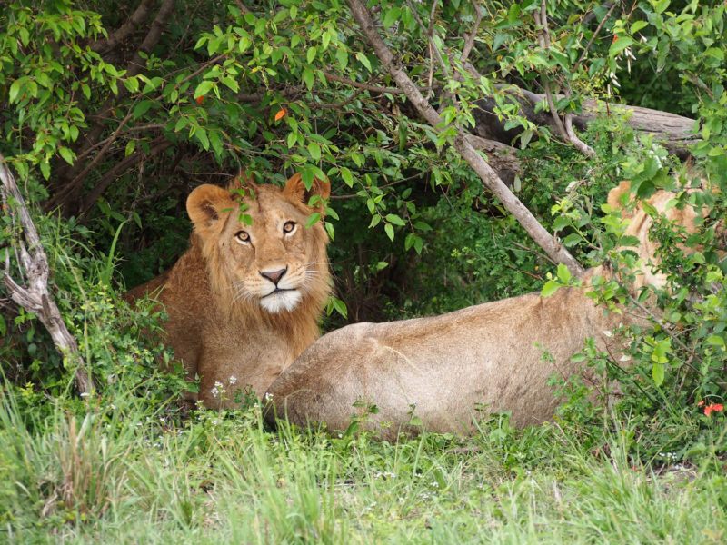 木陰で休む若い雄ライオン