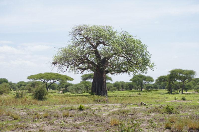 バオバブの木。
