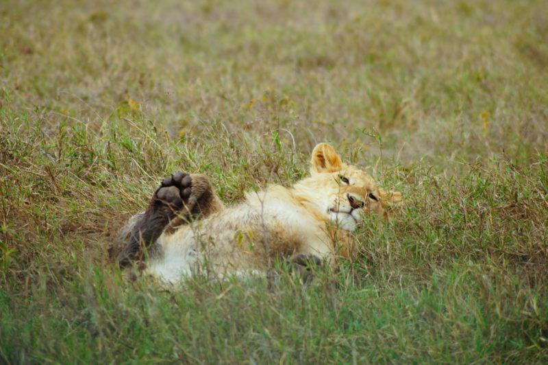 ライオンも心なしかリラックス。