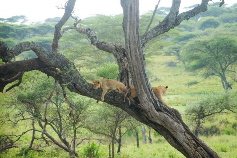 木登りライオン。