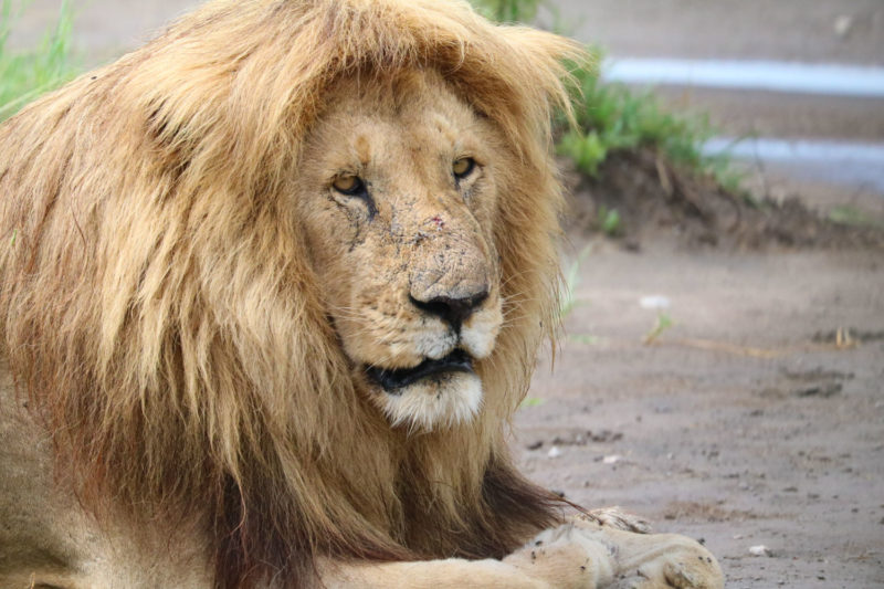 百獣の王、ライオン。顔の傷が彼の人生?を物語っています。