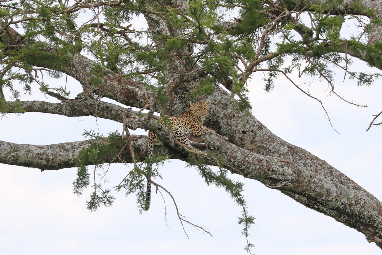 木の枝にヒョウがいます。ドライバーは驚異的な視力で動物をどんどん見つけます。