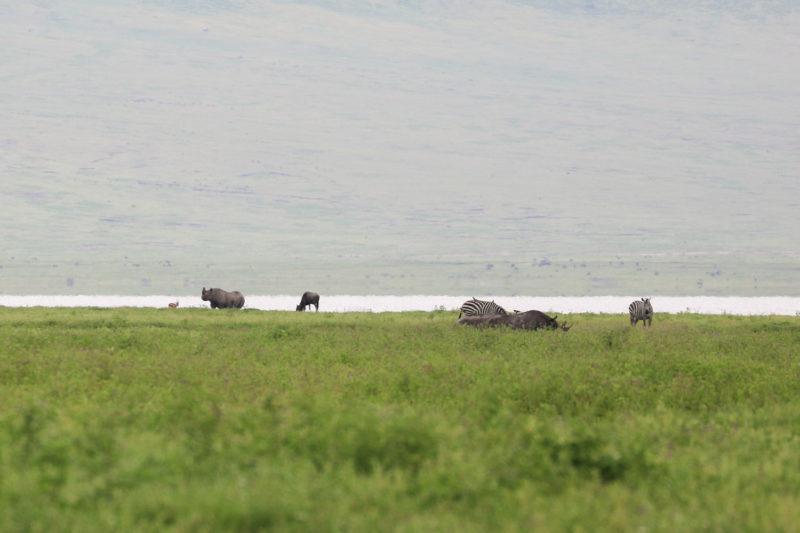 かなり遠かったですが、ンゴロンゴロクレーターで見つけたクロサイ3頭。