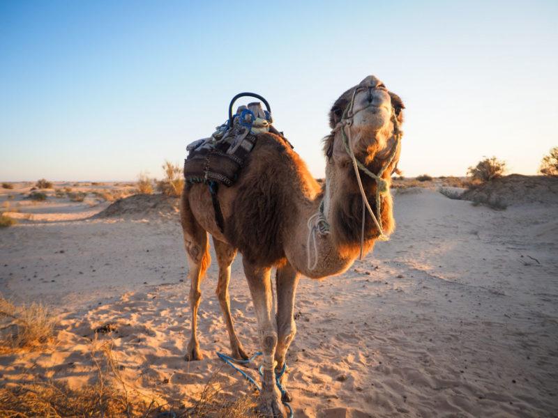 ドゥーズ郊外の砂丘に向かうと、ラクダたちがお出迎え!