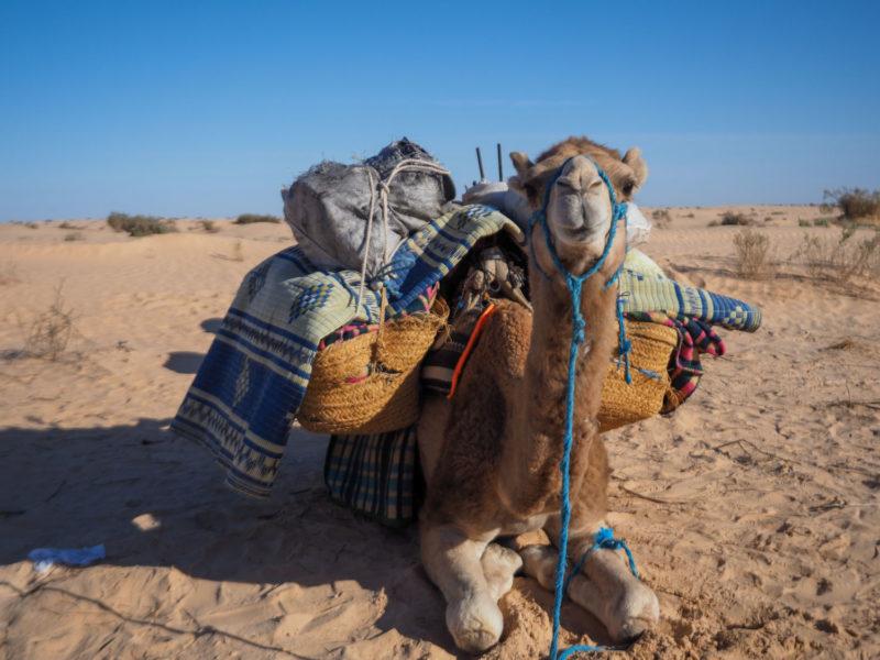 頼りになる砂漠の相棒。「ラクダ」たちがお待ちしています。