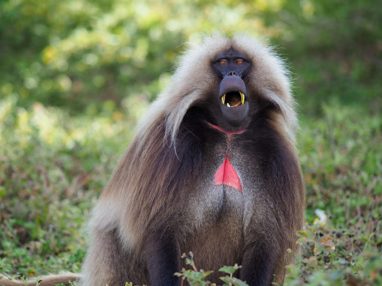 固有種のゲラダヒヒ。現生の猿では、唯一、草を主食とする草原のサルです。