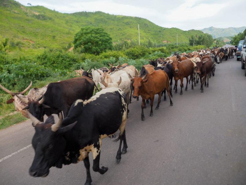 エチオピアはどこに行っても家畜が人々共にいます。