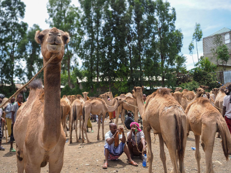 バティの月曜市の一コマ。家畜市場でのラクダの群れ