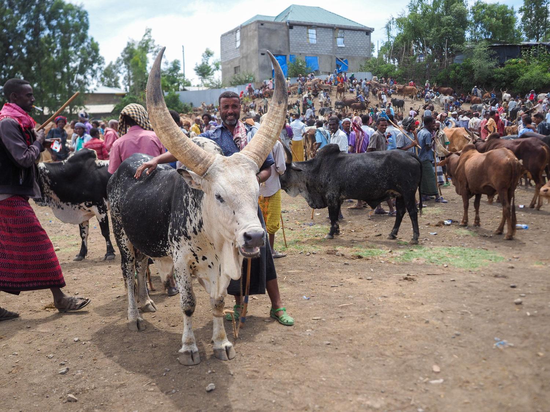 立派に育てあげた雄牛。売り手のオジサンも名残惜しそうです。
