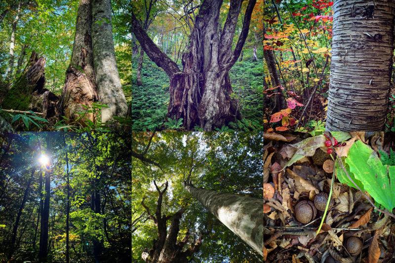 白神の森の代名詞であるブナの他、ミズナラ、カツラ、トチ、アカマツなど、植生も豊か