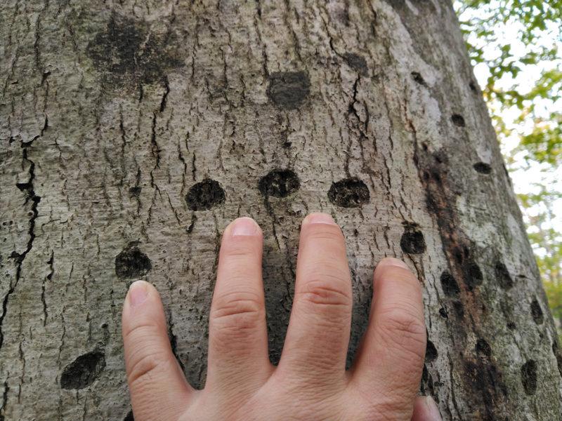固いブナの樹皮につけられたクマの爪痕