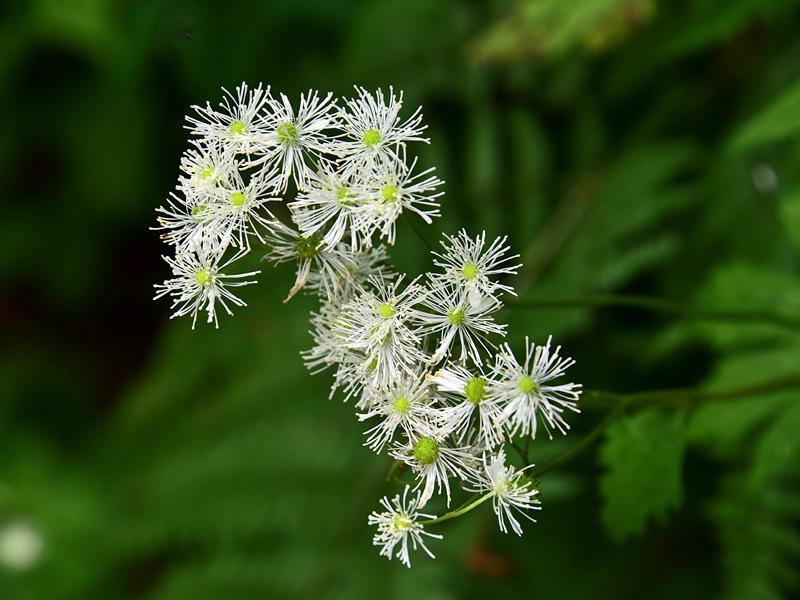 モミジカラマツ 線香花火の様な花が唐松の葉に似ており、葉はモミジのような五葉である