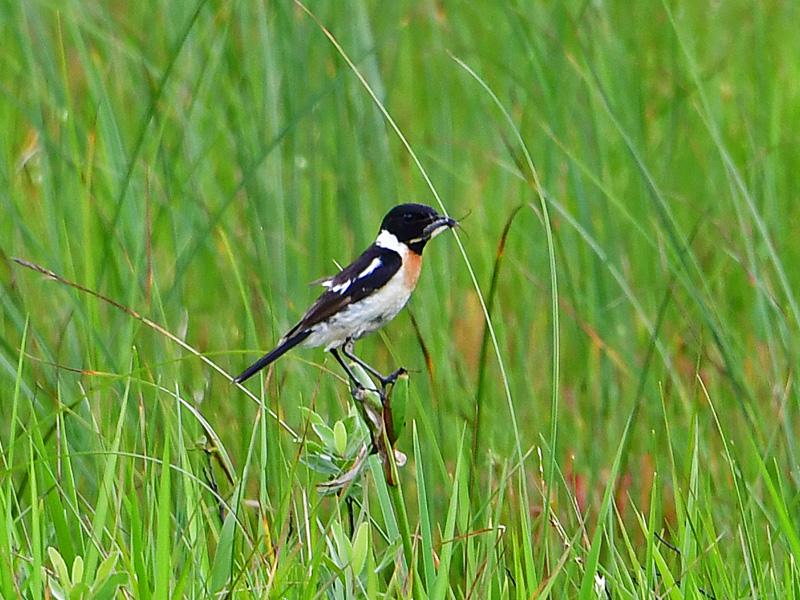 ノビタキのオス 夏鳥で本州では山の高原や湿原で繁殖し、冬は東南アジア等に渡る