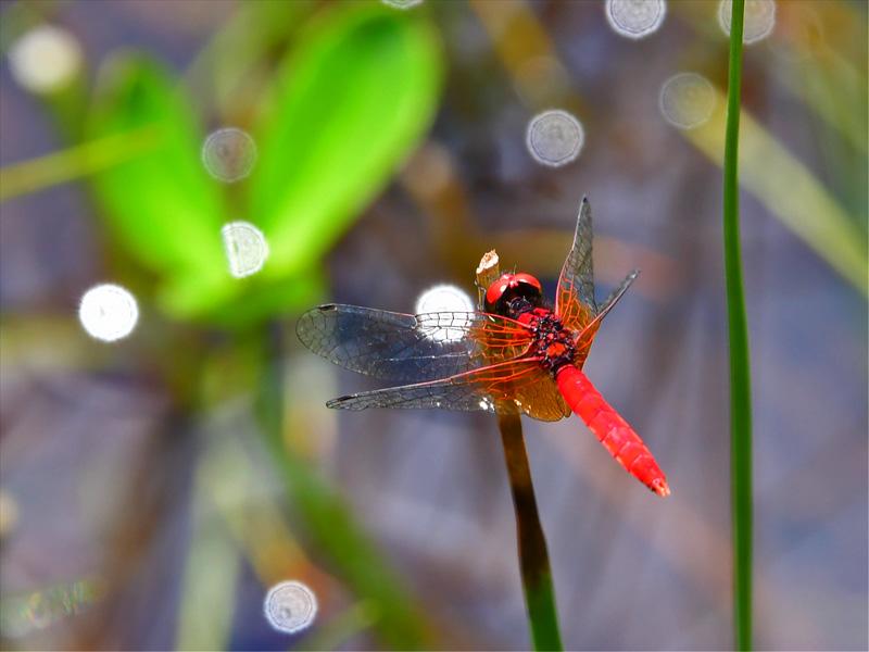ハッチョウトンボのオス とても小さく、羽を除くと大きさは1円玉程度である