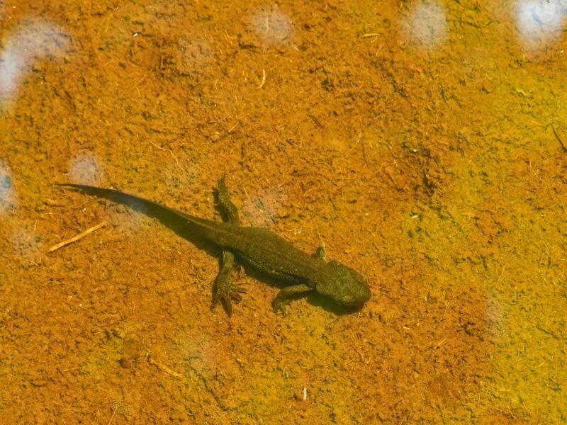 アカハライモリ 池塘で見られ、背中は黒いが腹部は鮮やかな赤で黒い斑紋が混じる