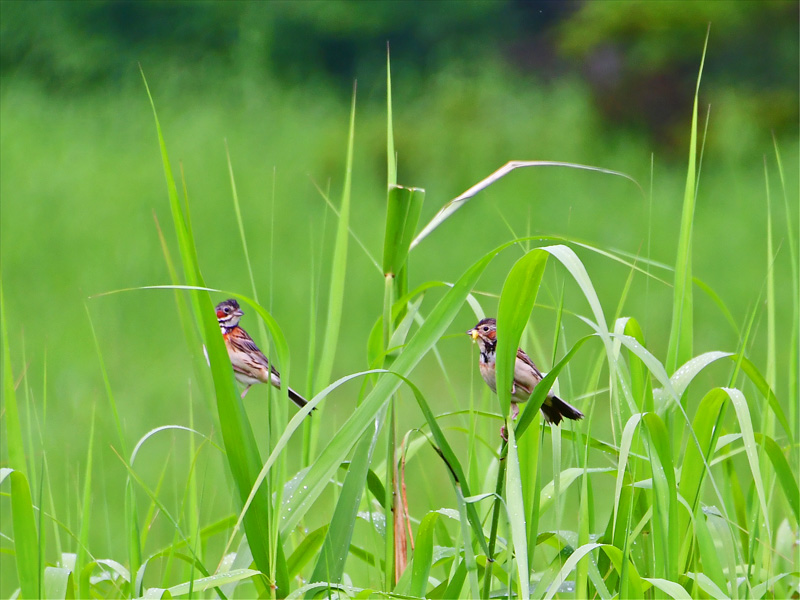 ホオアカ 夏は高原で繁殖し、冬は日本南部で越冬するホオジロの仲間