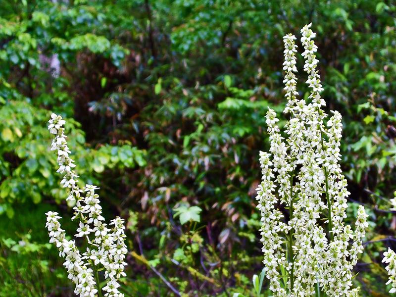 ミヤマバイケイソウ 山道の沢沿いに咲く大型の花