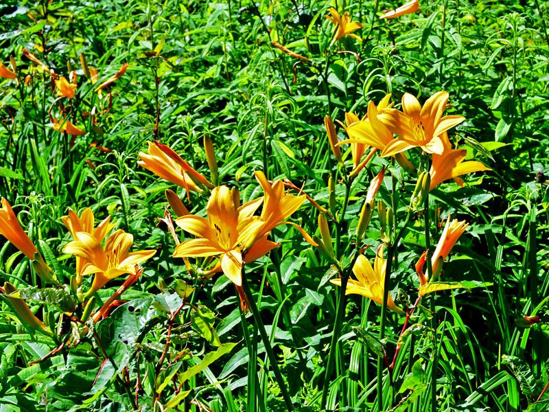 ニッコウキスゲ 別名ゼンテイカ(禅庭花)と呼ばれ、朝方に開花すると夕方にはしぼんでしまう