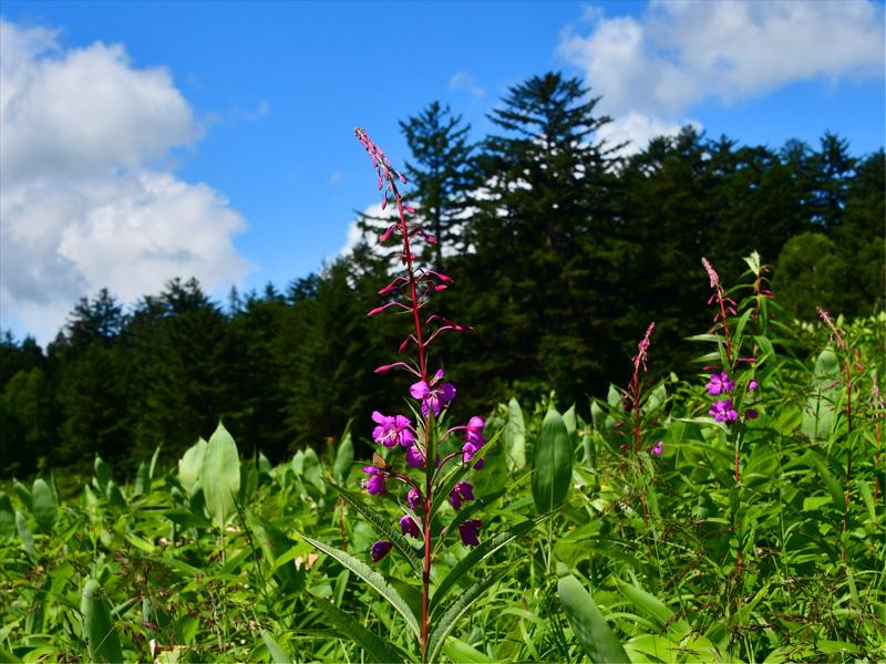 ヤナギラン 日当たりのよい草原を好む大型の花