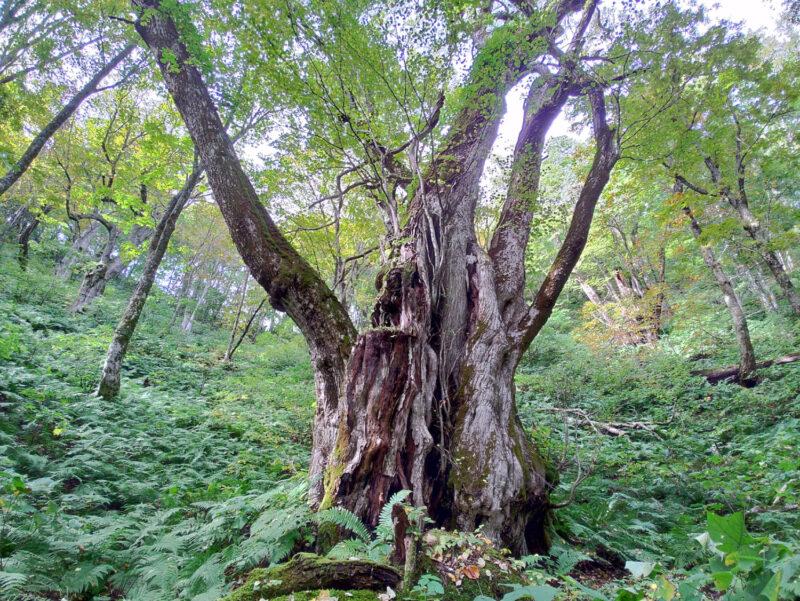 白神山地で最も大きいのではないかと言われているカツラの古木