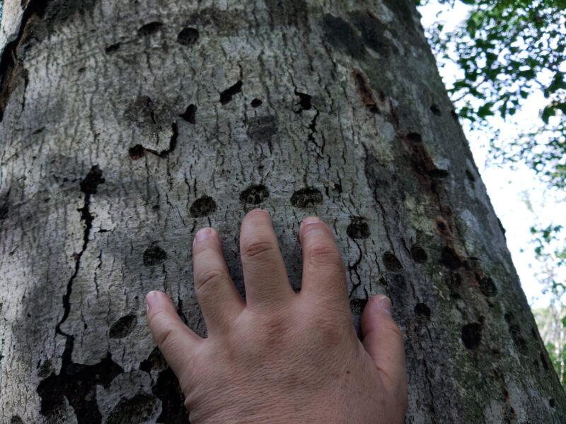 ブナの固い幹に刻まれたクマの爪痕