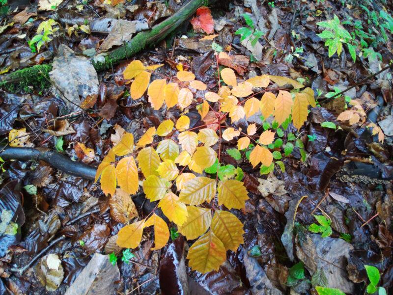 触れるとかぶれるウルシですが、葉は美しく黄色~赤に色づきます